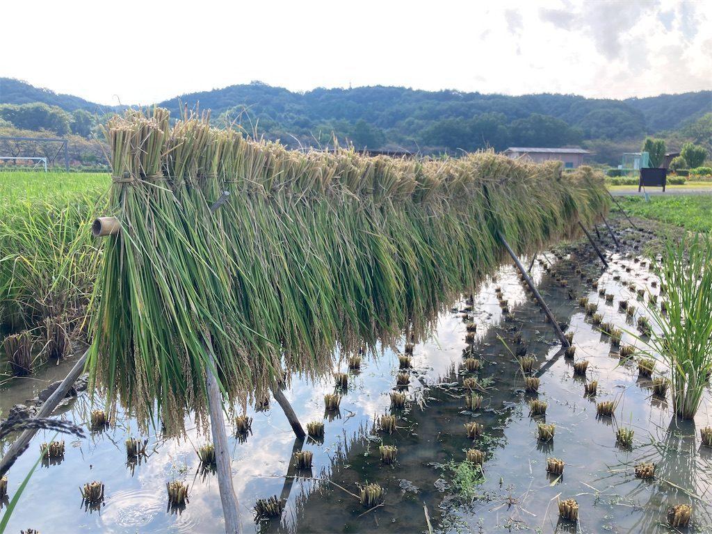 束ねた稲を小田掛けに
