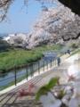 [出町柳周辺の桜。2009。]