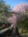 哲学の道の桜。2009。