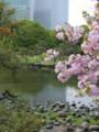 *[しゃしん]桜と飛び石