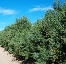 ワックスエステル ホホバの木
