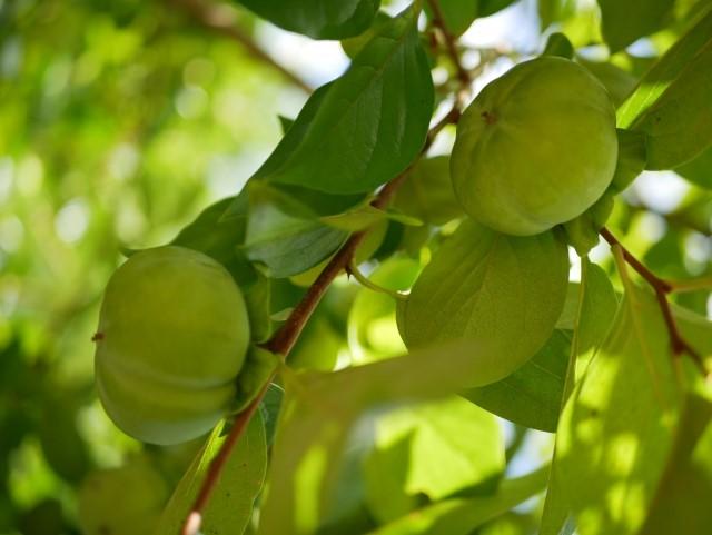 柿渋エキスの原料の渋柿