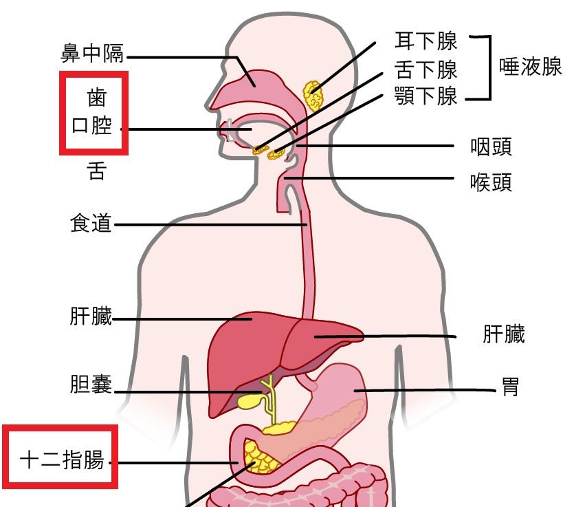 上部消化器官の人体図