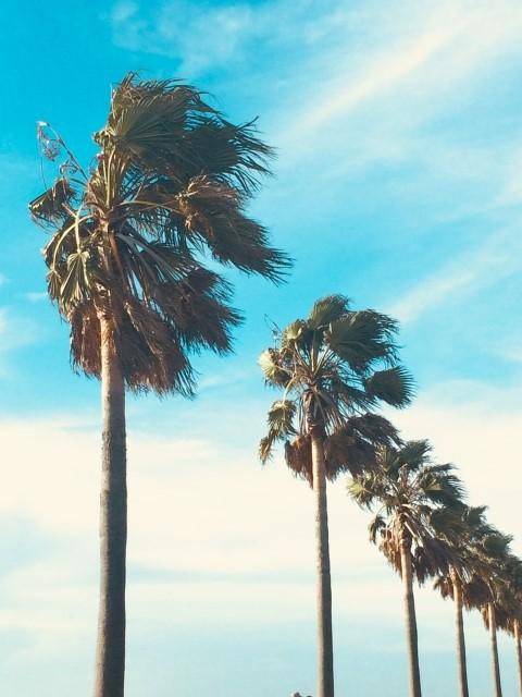 強風に揺れるヤシの木