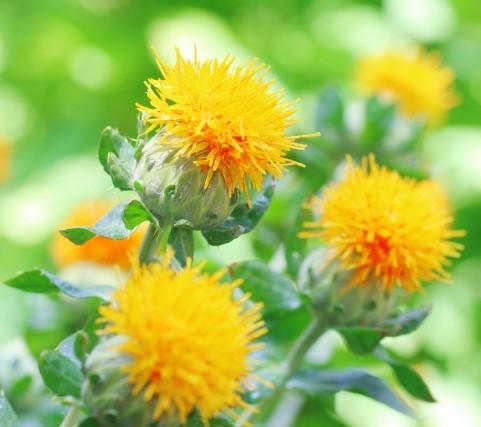 畑に咲くベニバナ(サフラワー)