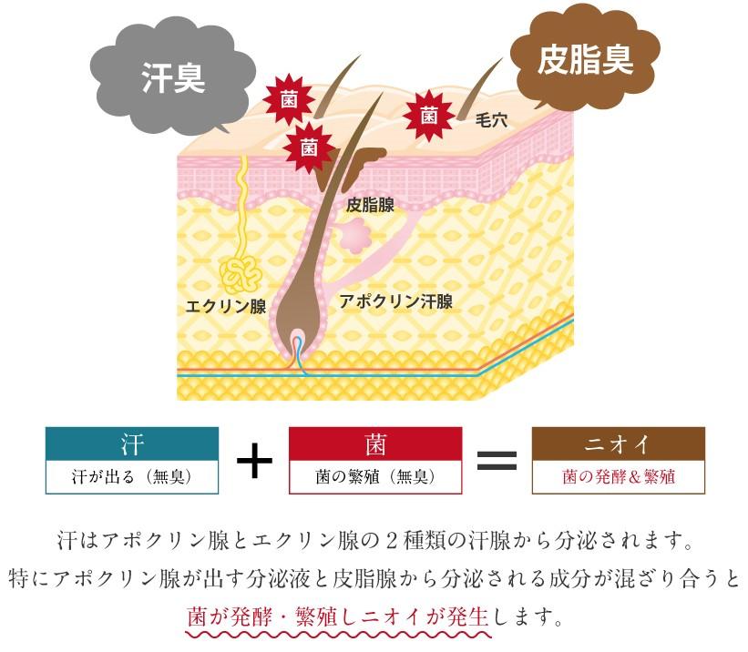 アポクリン汗腺の図解 ネオテクトサイトより抜粋