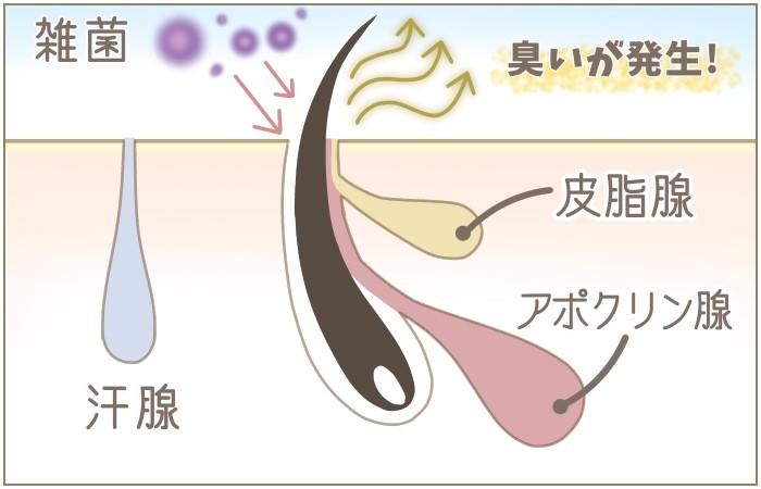 アポクリン汗腺の図