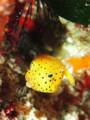 人気者 ! ミナミハコフグ幼魚
