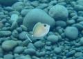 ヒメテングハギの幼魚