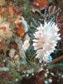 サクラミノウミウシ