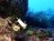 ゾウゲイロウミウシ