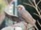 2017/01/29 ヒヨドリ都川公園にて尾羽が切れたのが残念