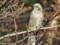 ユリカモメにかっぱえびせん給餌中近くの樹に留まった
