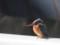 肩の白が広い腹部白い嘴上は黒下は赤橙色脚は桃色横または斜め前から