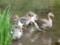 金鱗湖のガチョウ