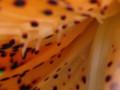 オニユリ(八重咲き)09-3