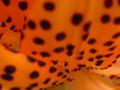 オニユリ(八重咲き)09-4