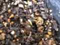 藤の種、発芽