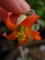 白美人の花1