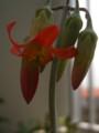 白美人の花2