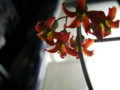 白美人の花3