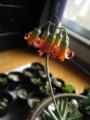 白美人の花4