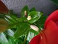 タイニーホープ3(成長の止まった蕾)