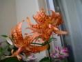 オニユリ(八重咲き)1