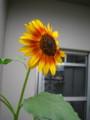 家で咲いた中では大きめ