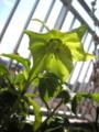 開花したまま茎を伸ばし続けて、遂に普通の葉の丈を越した