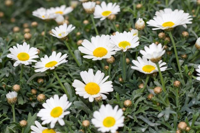 平和が花言葉のデージーの画像