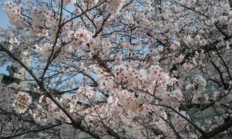 THE満開の桜