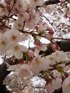サボテンフェア2016桜