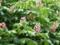 マロニエの花3