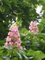 マロニエの花2