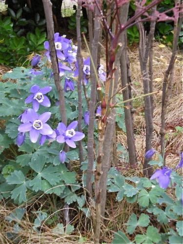 5月の秋田 その2 苧環と芝桜
