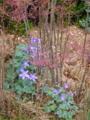 5月の秋田 その2 苧環と芝桜2