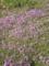 5月の秋田 その2 苧環と芝桜4