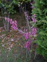 5月の秋田 その5 アルメリアと蘇芳2