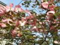 5月の秋田 その6 花水木再び