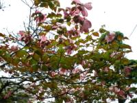 5月の秋田 その6 花水木再び2