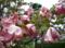 5月の秋田 その6 花水木再び3