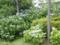 ご近所の紫陽花