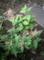 ご近所の紫陽花 3