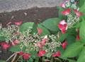 ご近所の紫陽花 4