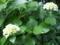 ご近所の紫陽花 その2
