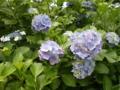 ご近所の紫陽花 その22