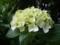 ご近所の紫陽花 その23