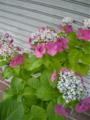 ご近所の紫陽花 その3