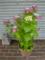 ご近所の紫陽花 その31